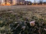 Vom Frost überzogenes Gänseblümchen